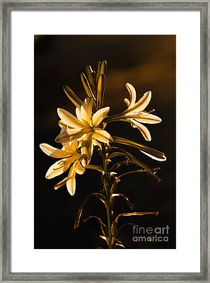 Sunrise Ajo Lily Framed Print by Robert Bales