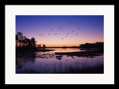 Flying Snow Goose Framed Prints
