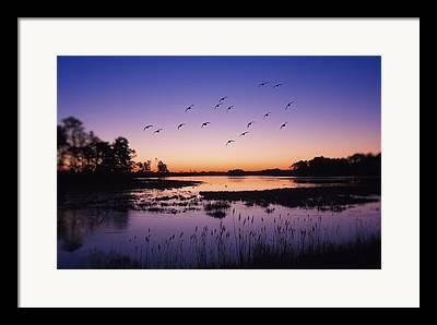 Snow Goose In Flight Framed Prints
