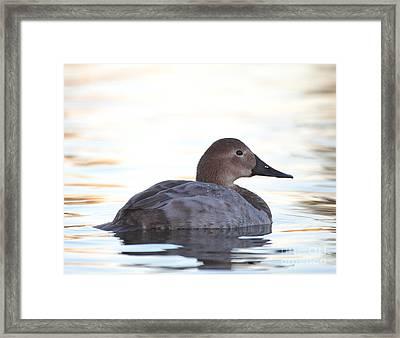 Sunrise Canvasback Framed Print