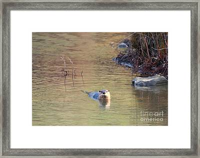 Sunrise Otter Framed Print by Mike Dawson
