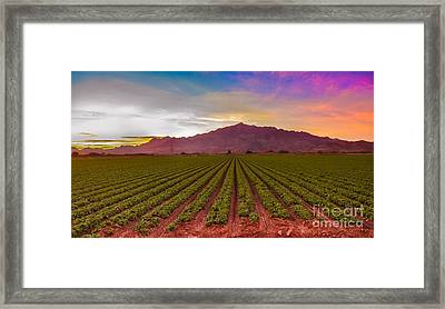Sunrise Over Lettuce Field Framed Print by Robert Bales
