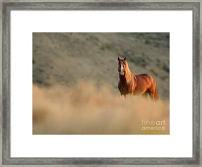Sunrise Stallion Framed Print by Carol Walker