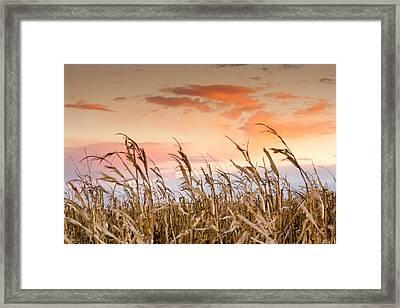 Sunset Against The Cornstalks Framed Print by Dawn Romine