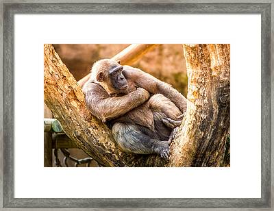 Sunset Chimpanzee Framed Print by Pati Photography