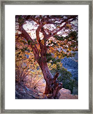 Sunset Colors Of A Juniper Tree Framed Print