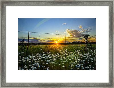 Sunset Daisies Framed Print