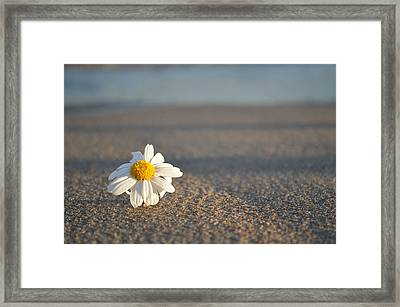 Sunset Daisy Framed Print