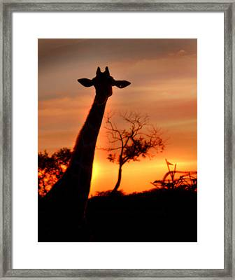 Sunset Giraffe Framed Print
