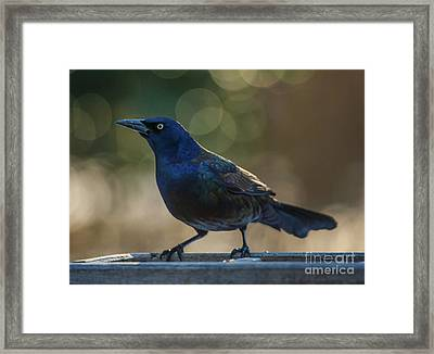 Sunset Grackle Framed Print by Jim Moore
