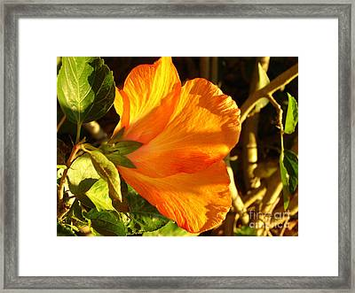 Sunset Hibiscus Framed Print by Lew Davis