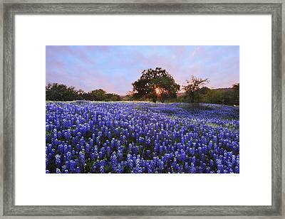 Sunset In Bluebonnet Field Framed Print