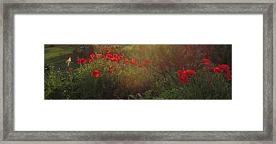 Sunset In The Poppy Garden Framed Print by Mary Wolf