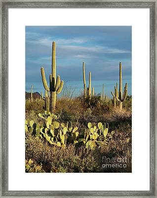 Sunset On The Saguaros Framed Print