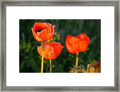 Framed Print featuring the photograph Sunset Poppies by Debbie Oppermann