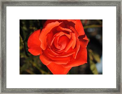 Sunset Rose Framed Print by Robert  Moss