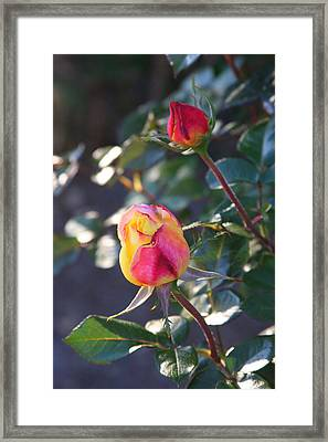 Sunset Roses Framed Print by Paula Tohline Calhoun
