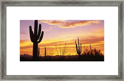 Sunset Saguaro Cactus Saguaro National Framed Print