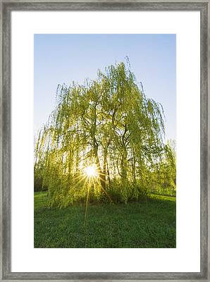 Sunset Willow Framed Print by Mircea Costina Photography