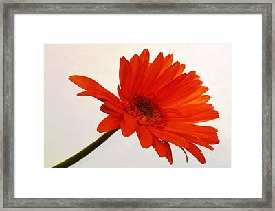Sunset Zinnia Framed Print by Sherry Allen