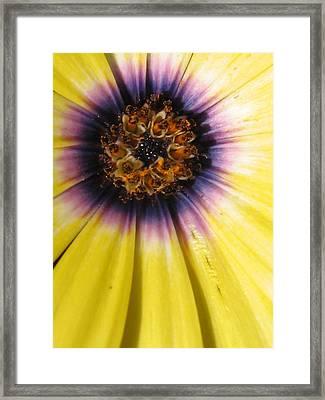 Sunshine Daisy Framed Print by Tracy Male