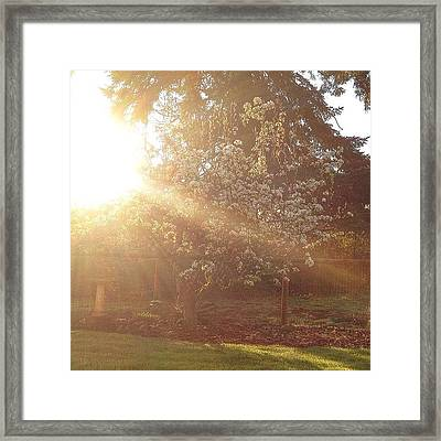 Sunshine On My Favorite Pear Tree All Framed Print