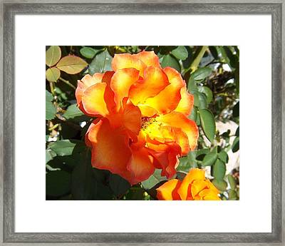 Sunshine On Rose Framed Print by Rosalie Klidies