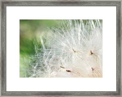 Sunshine On Thistle Seeds Framed Print