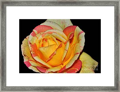 Sunshine Rose Framed Print by Kaye Menner
