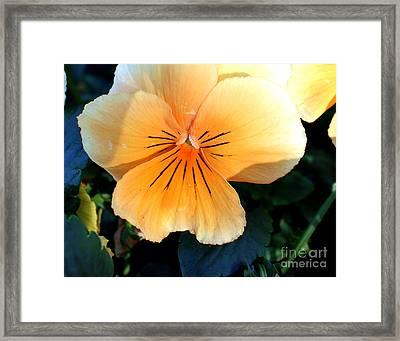 Sunshine Yellow Pansy Framed Print