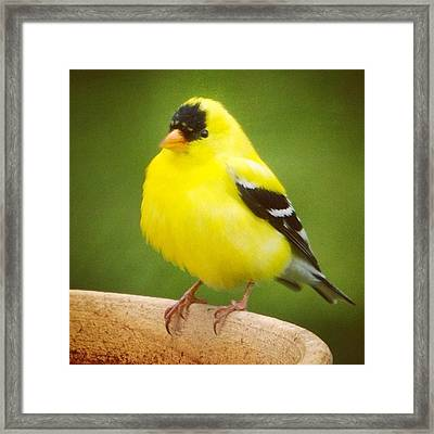 Super Fluffed Up Goldfinch Framed Print by Heidi Hermes