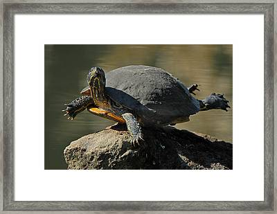 Super Turtle Framed Print by David Marr