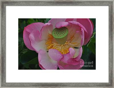 Supreme Lotus Framed Print