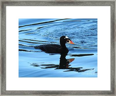 Surf Scoter Blues Framed Print by Gayle Swigart