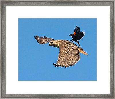 Surfer Bird  Framed Print