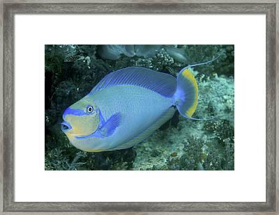Surgeonfish, Raja Ampat Islands, Irian Framed Print