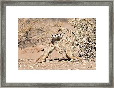 Suricates At Play Framed Print by Tony Camacho