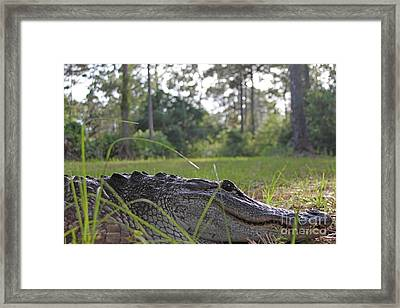 Surprise Alligator Houseguest Framed Print