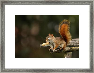 Surprised Red Squirrel With Nut Portrait Framed Print by Debbie Oppermann
