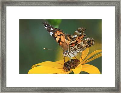 Susan Painted Lady Framed Print