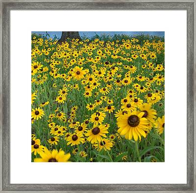 Susans In The Wind Framed Print
