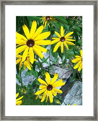 Framed Print featuring the photograph Susans by Joan Hartenstein