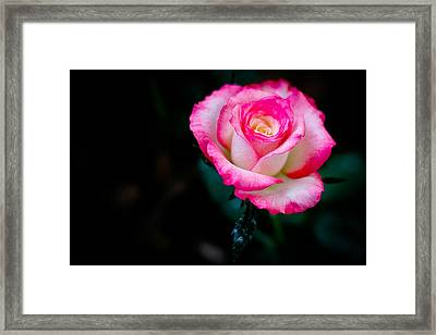Suspended Rose Singapore Flower Framed Print by Donald Chen