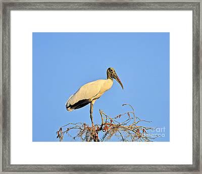 Suwannee Stork Framed Print by Al Powell Photography USA