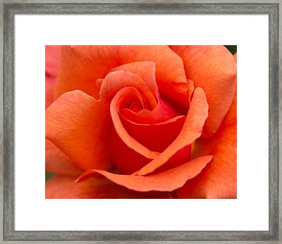Suzanne's Rose Framed Print