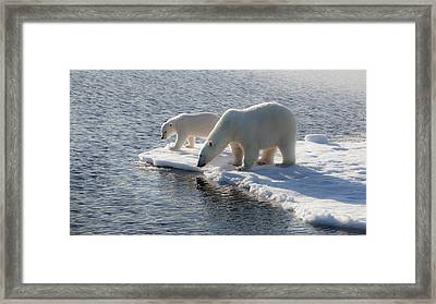 Svalbard Mother And Child Polar Bears Framed Print by Janet Muir
