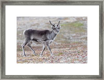 Svalbard Reindeer Framed Print