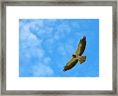 Swainson's Hawk Snake River Birds Of Prey Natural Conservation Area Framed Print by Ed  Riche