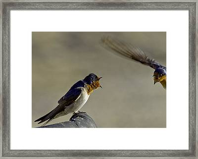 Swallow Fight Framed Print