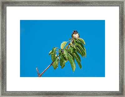 Swallow Sitting On Cherry Tree Branch Framed Print